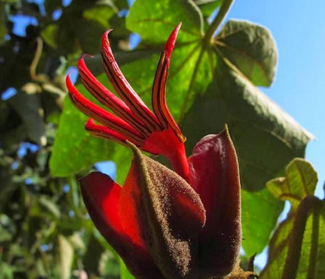 Image result for tanaman Bunga Tangan Setan berasal dari Meksiko