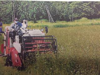 蕎麦(でわかおり)の刈り取りが今日付けの(2016.10.02山形新聞に