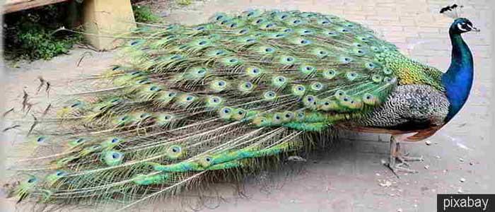 Daging Burung Merak Bisa Menyembuhkan Sakit Perut