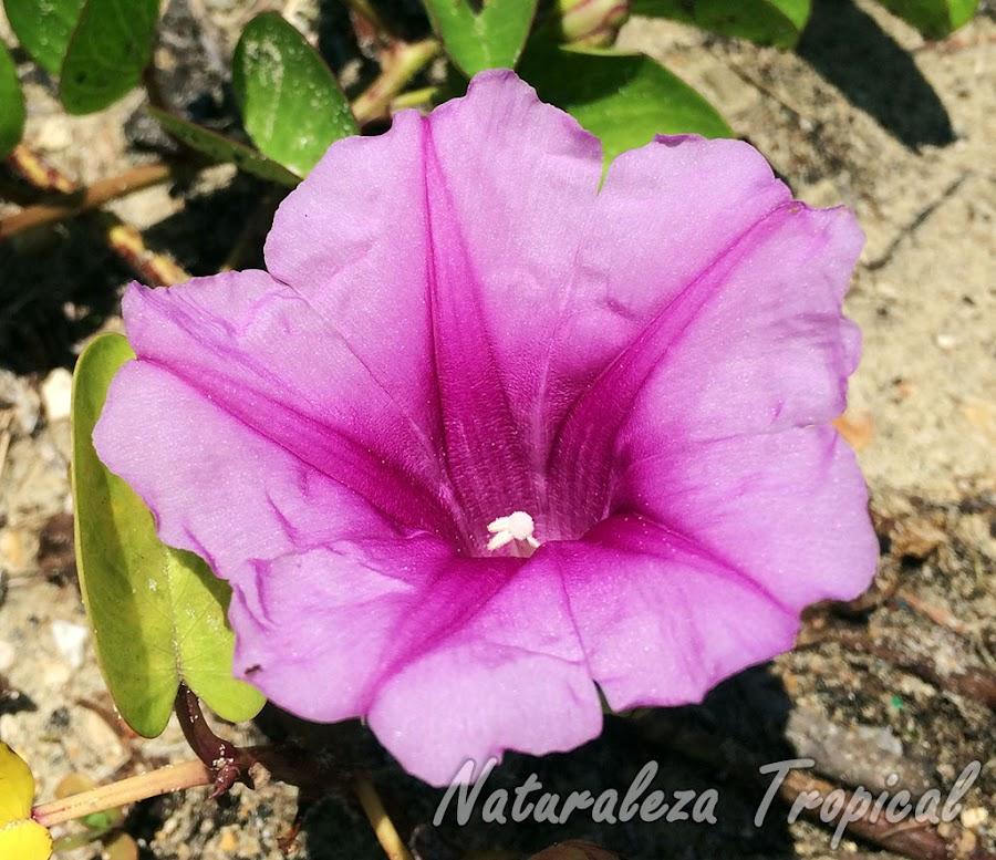 Vista de la flor de la planta Bejuco de Playa, Ipomoea pes-crapae