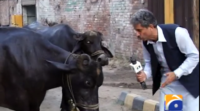 Amin Hafeez, a reporter of Pakistani news channel Geo TV, has gone viral by interviewing a few buffaloes.  Amin Hafeez is known in Pakistan for his antics, but this piece of reporting manages to convey a serious message.  Pakistan has built foot-over bridges to enable signal free traffic but ahs a problem in getting people to use it.