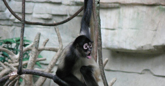 10 Reasons Spider Monkeys could be the #2017MMM Champions