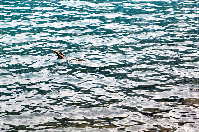 Driftwood Floating in Water at Moraine Lake in Canadian Rockies, Alberta Canada.> See more on Badgertails.com <