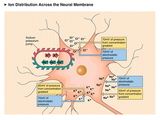 Concept of neural conduction in biopsychology psychology definition captions the passive and active factors that affect the distribution of na k cl ions along the neural membrane continuous passive factors push k ccuart Choice Image