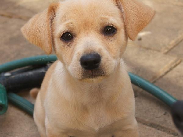 Jack Russell Pomeranian Chihuahua Mix