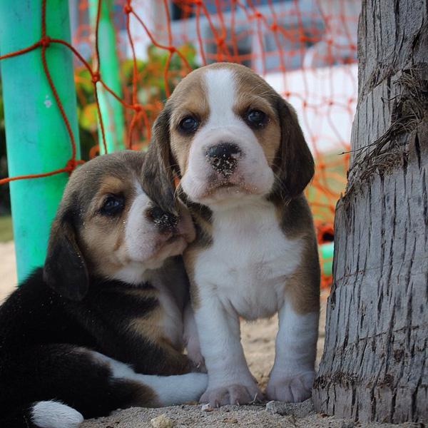 """28 chú chó săn thỏ khiến bạn yêu """"ngay từ cái nhìn đầu tiên"""""""