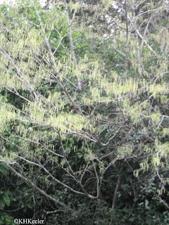 Maclura tinctoria in flower