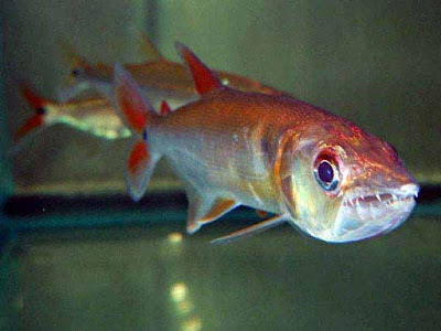 Makanan Red Tail Barracuda