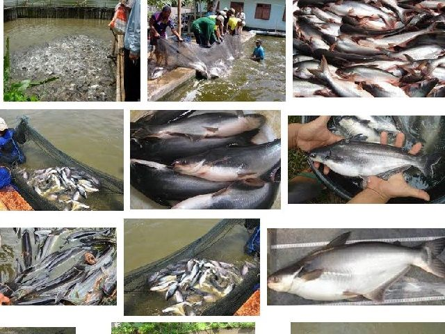 Klasifikasi dan Morfologi Ikan Patin