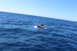 Tenerife, sea, whales, whale watching, Atlantic Ocean