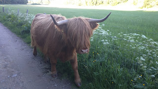 highland cow at drumnadrochet