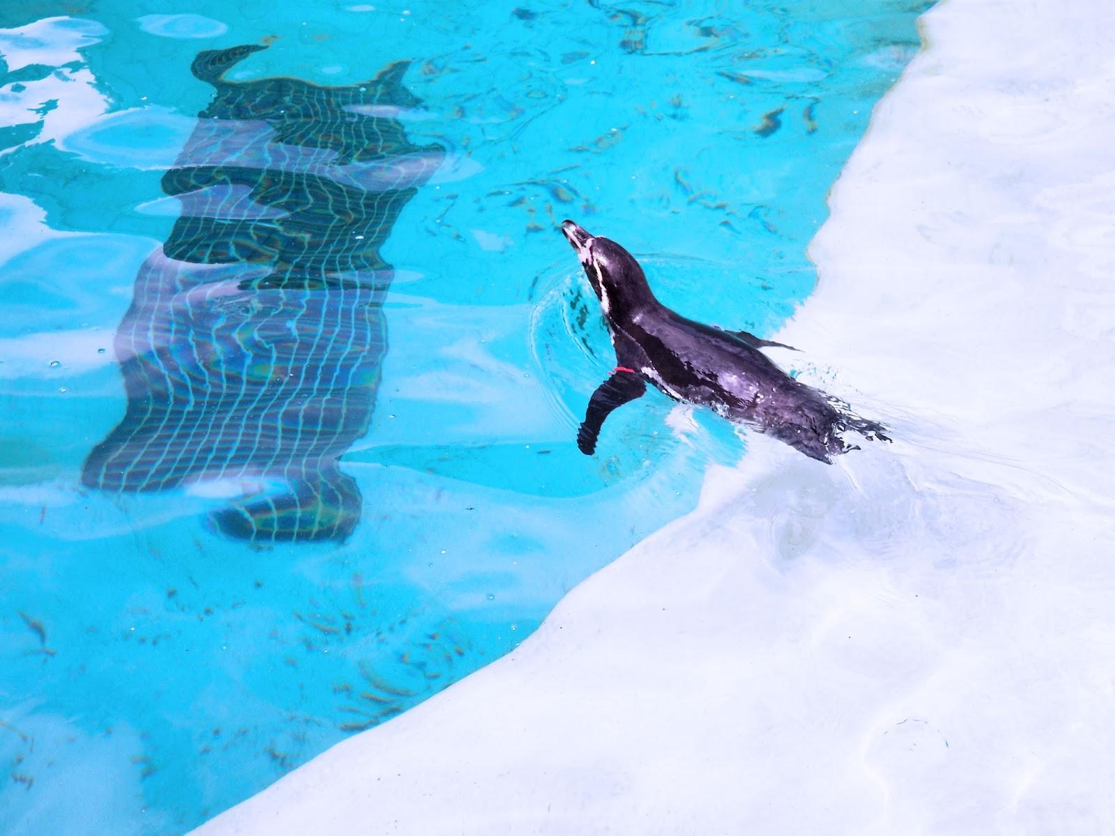Folly Farm Adventure Park and Zoo Penguins