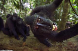 Обезьяны Хохлатые павианы улыбаются