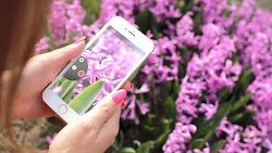 iPhone 6 and Purple Flowers