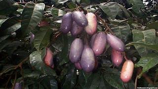 safou fruit images wallpaper