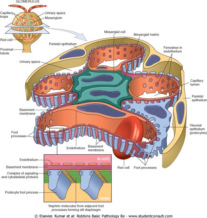 Ahmed Sadawi: Histology Of Kidney