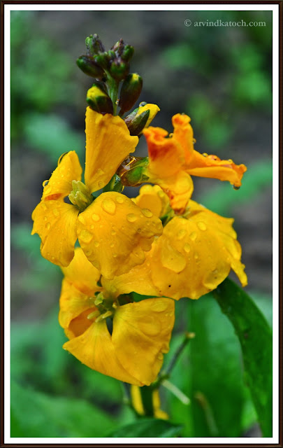 Yellow, Flower, Rain water,