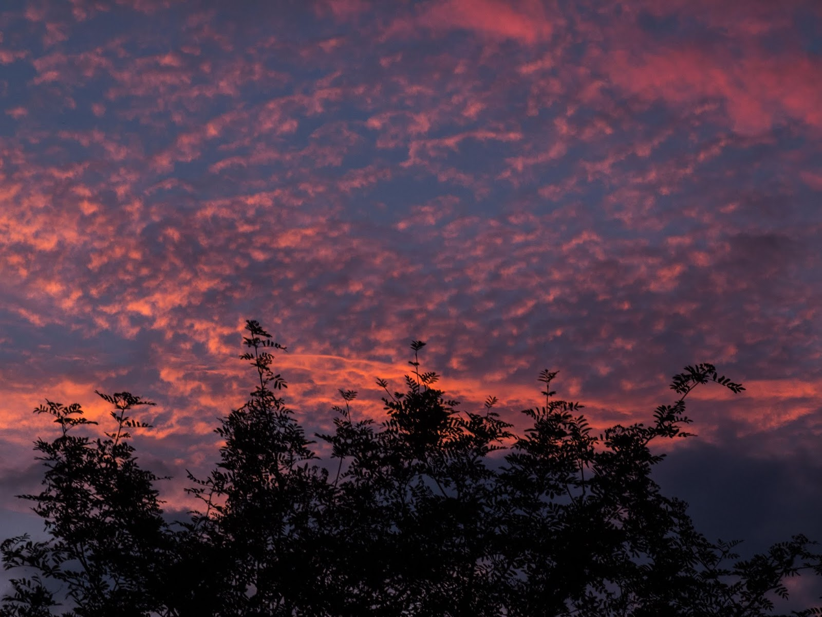 Red Altocumulus clouds behind a tree at sunset in Co.Cork.