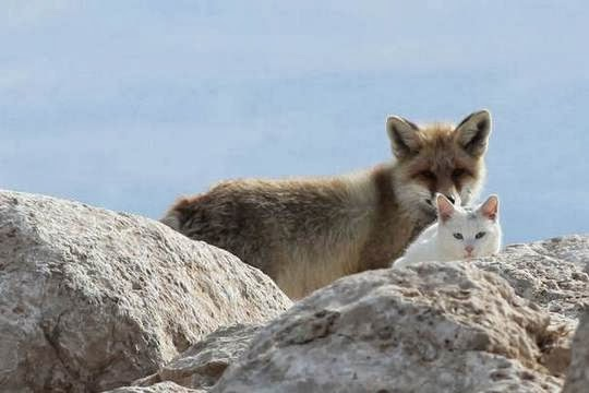 Turkish Van cat at Lake Van