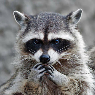 evil raccoo