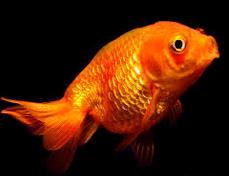 Jenis Ikan Koki Lionhead jenis warna