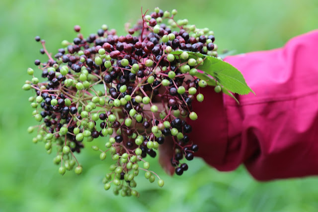 elderberries, foraging, Sweden