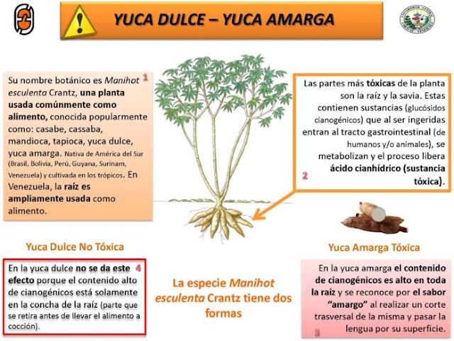 Opiniones de expertos y organismos internacionales en relación al consumo de yuca