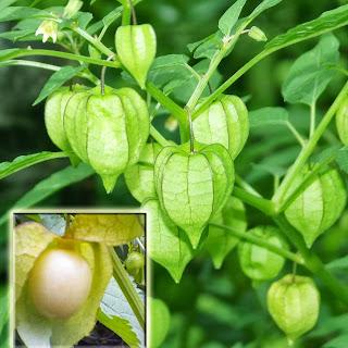 Ciplukan Tanaman Herbal Untuk Penyakit Hipertiroid