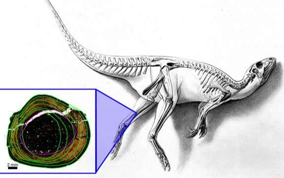 Fossil bone tissues shed light on Australia's polar dinosaurs