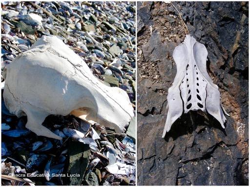 Restos de osamenta encontrados en la costa - Chacra Educativa Santa Lucía