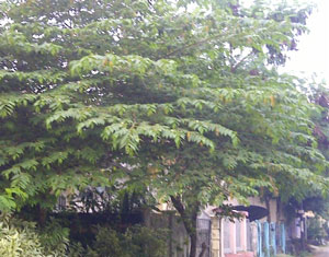 Pohon kersen tanaman peneduh