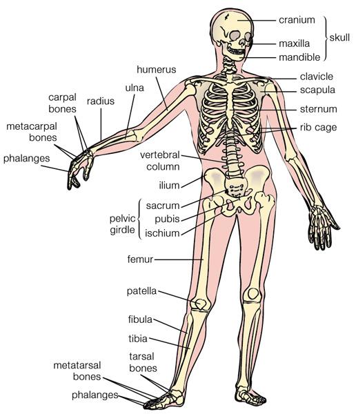 Study More Facts: Human Bones Fact