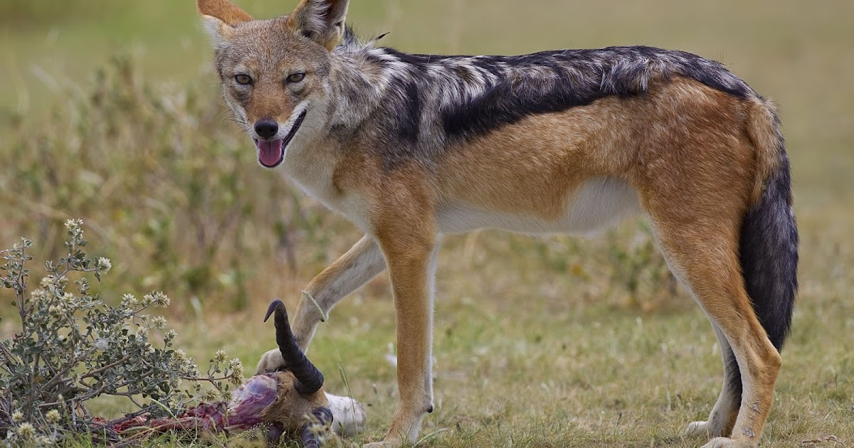 P Name Cute Wallpaper All About Animal Wildlife Jackal Hd Wallpapers 2012