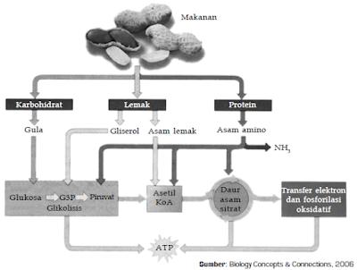 Hubungan Antara Katabolisme Karbohidrat, Lemak dan Protein