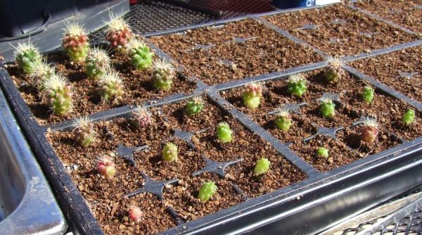 ECHINOCACTUS GRUSONII SEEDlings in seed tray