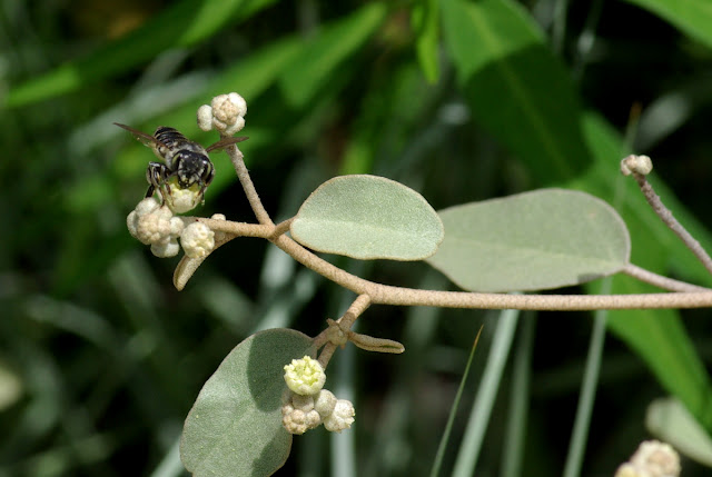 Croton punctatus flowers visited by a native bee