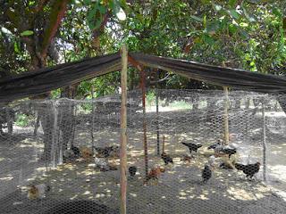 Galinha hoje o galinheiro for Construir mesa de cultivo