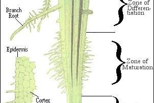 Struktur Akar Pada Tumbuhan