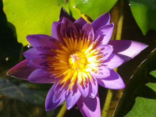 Top View Lotus flower images, Wallpaper
