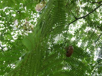 花博記念公園鶴見緑地 ネムノキ セミの抜け殻