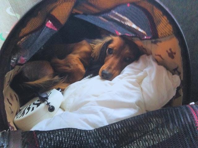 Vanity Beach Australia: Koiran vieminen Suomesta Australiaan