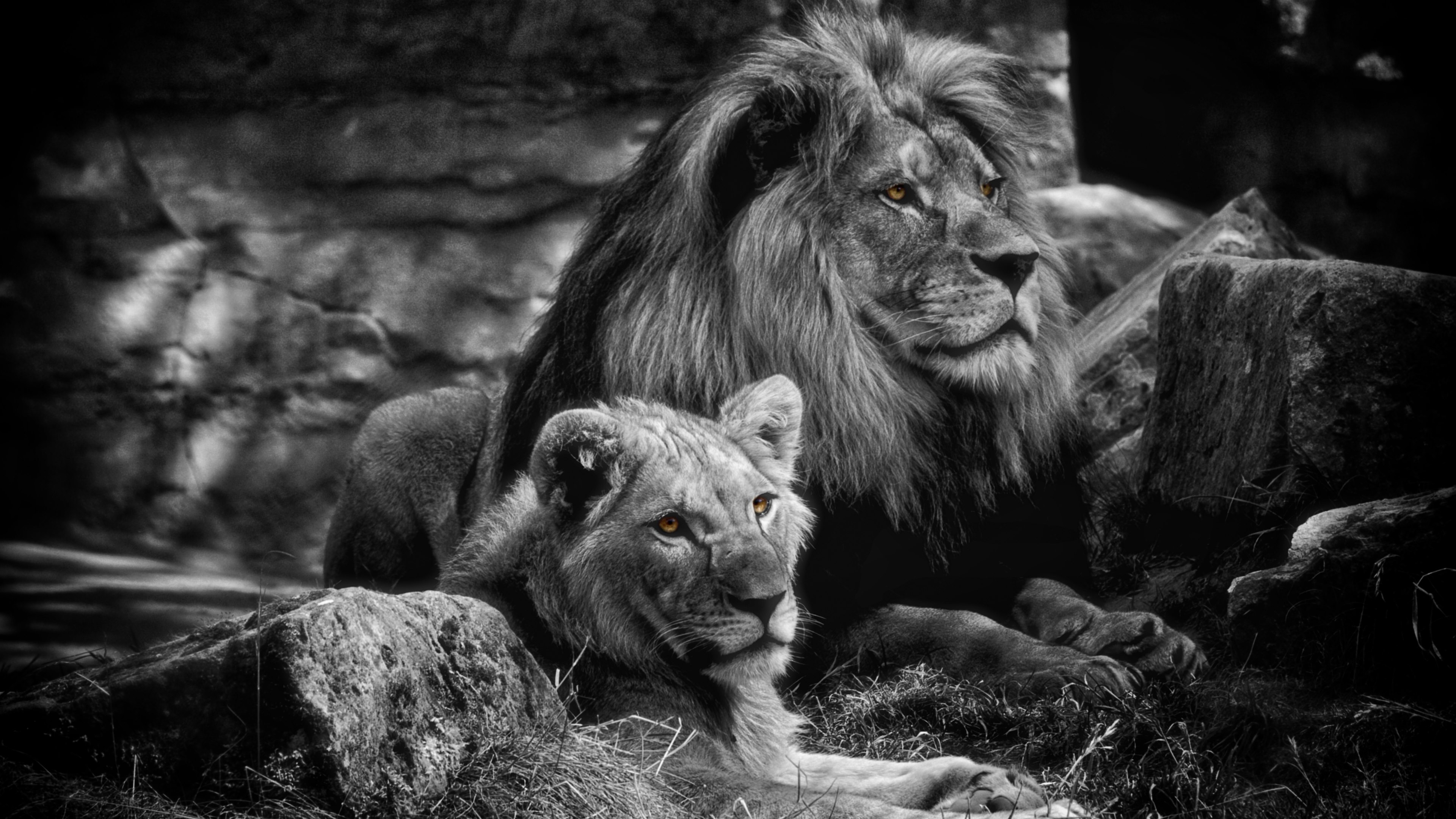 lion wallpapers 4k - best image lion 2018