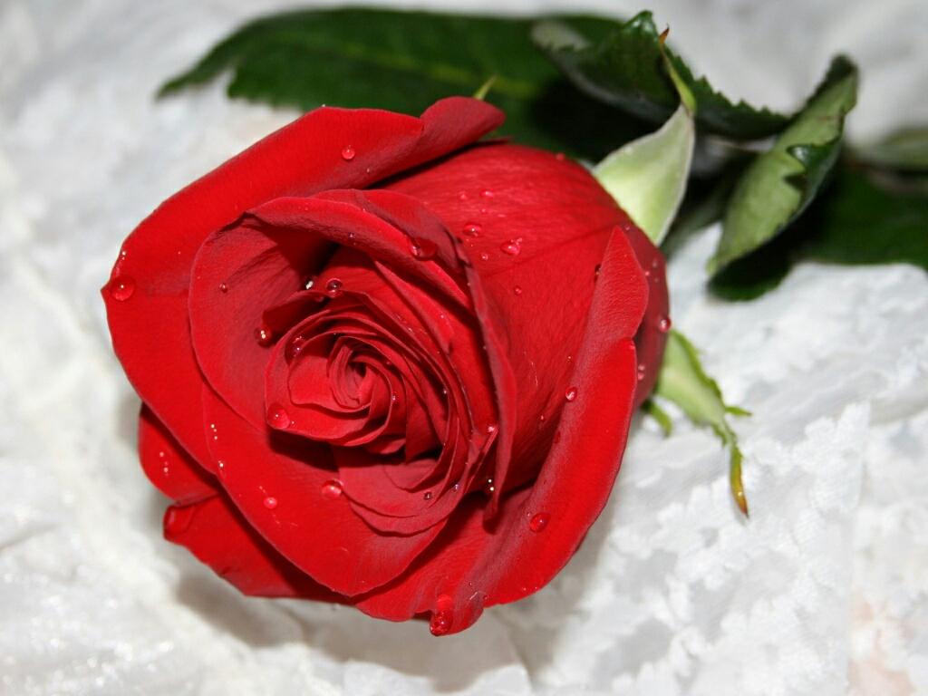 flowers for flower lovers.: Red rose desktop HD wallpapers.