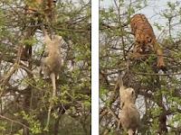 Monyet Ini Berusaha Melawan Harimau, Ada Apa?