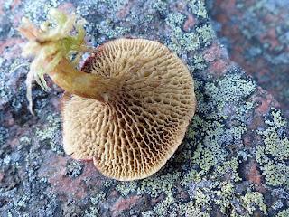 Bolet des marais - Suillus paluster
