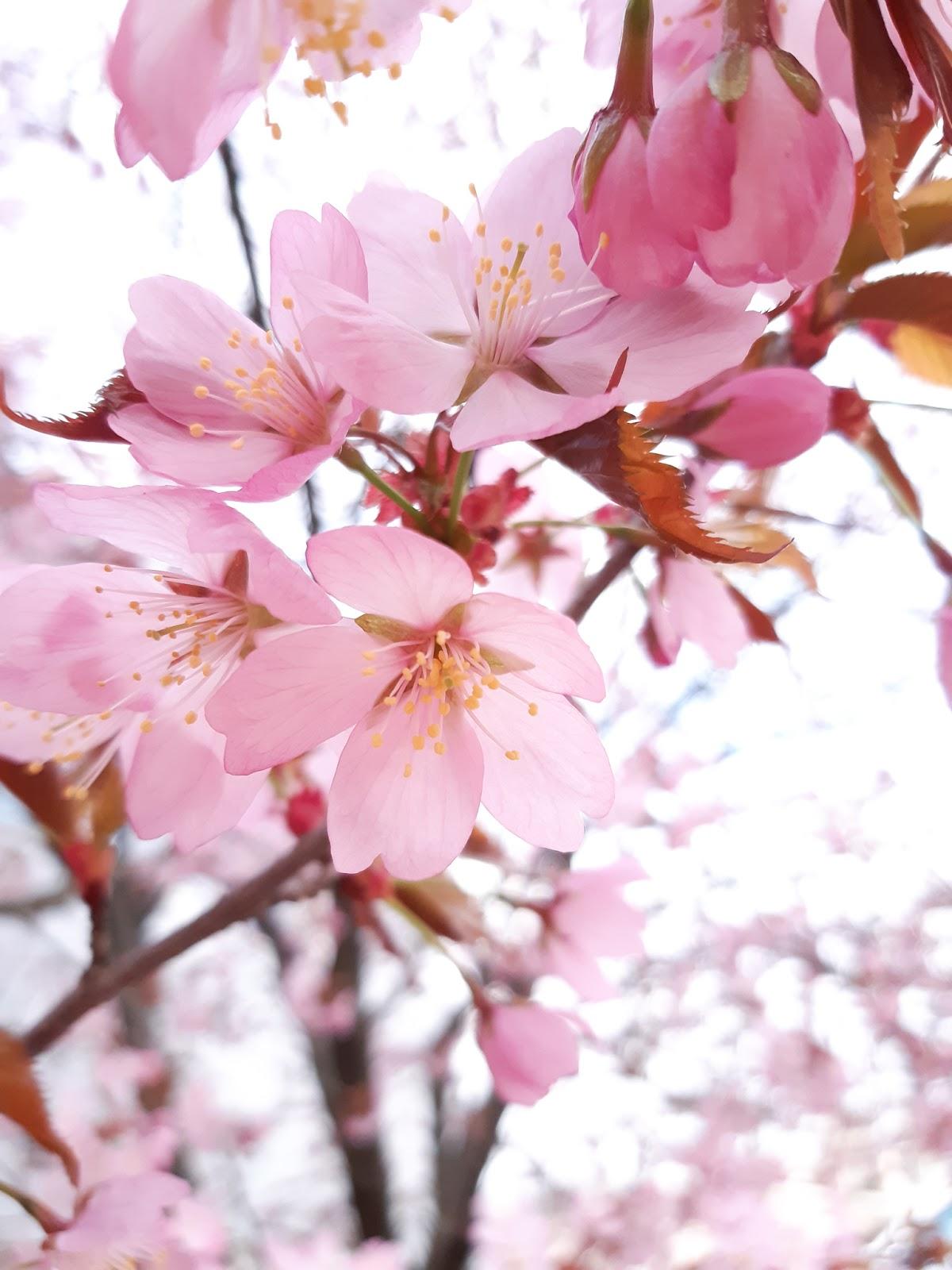 Lisää kirsikankukkia ja opintokuulumisia