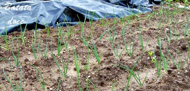 Controle de ervas daninhas com plastico preto
