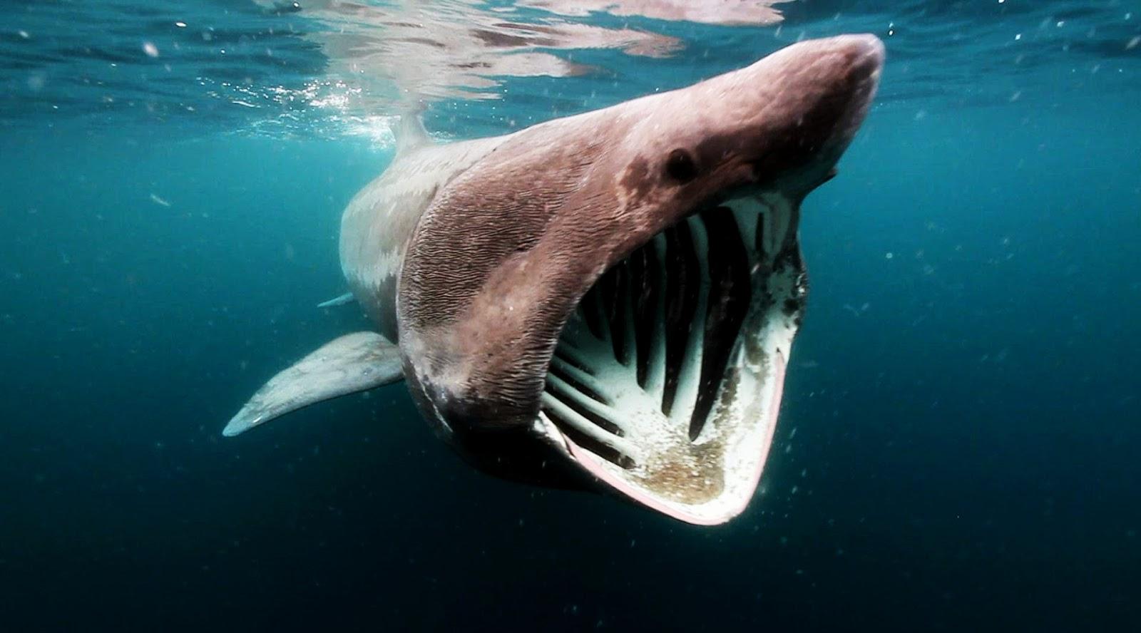 hiu pulau weh kepala besar