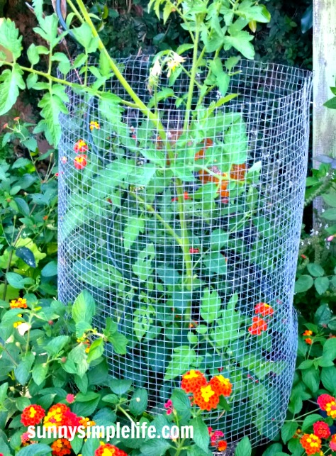 keeping rats from eating tomatoes