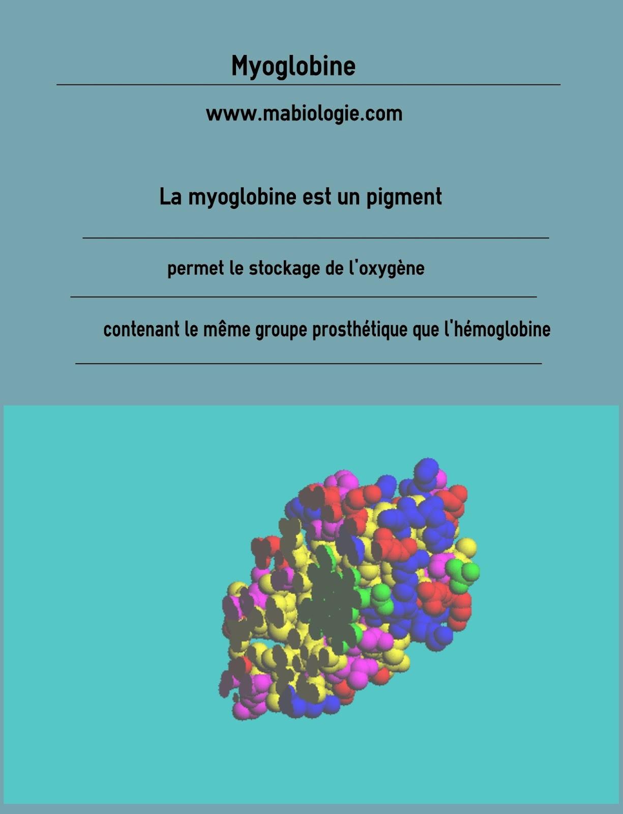 Définition Myoglobine